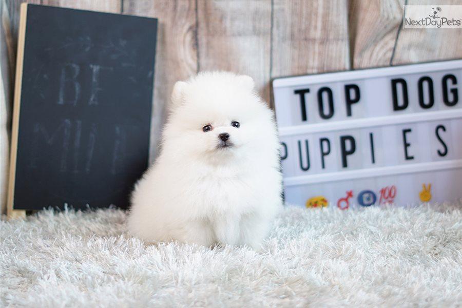 Boxer: Pomeranian puppy for sale near Orange County, California