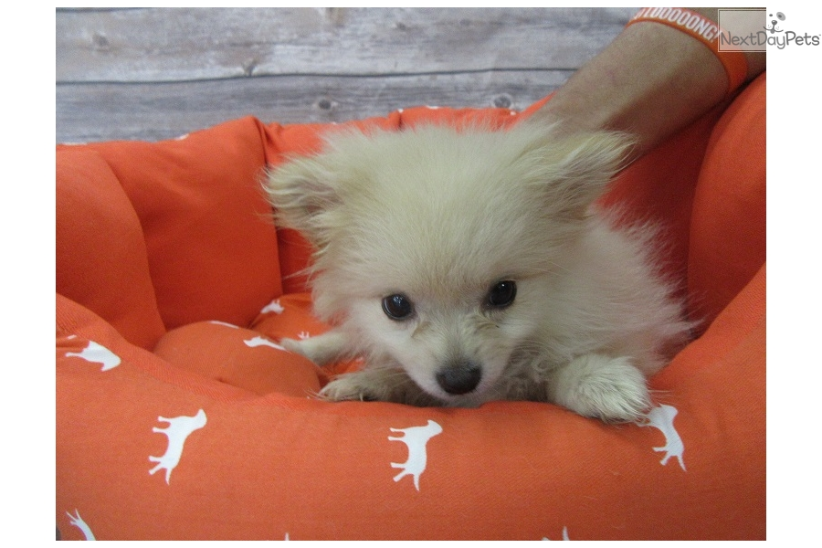 pomeranian puppies for sale in orange county banana pomeranian puppy for sale near orange county 8640