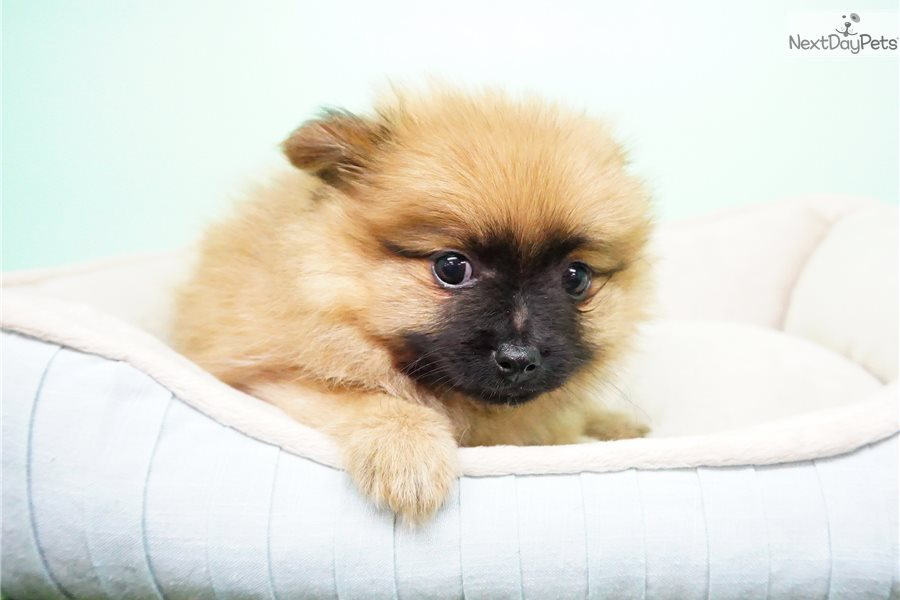 pomeranian puppies for sale in orange county pomeranian puppy for sale near orange county california 2948