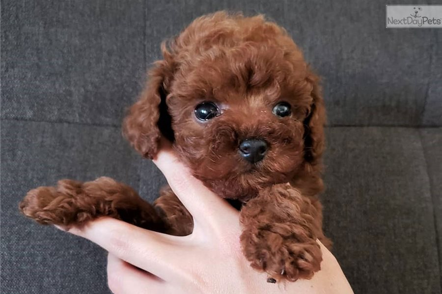 Choco Poodle Miniature Puppy For Sale Near Orange County