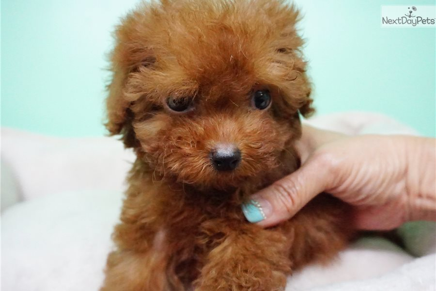 Aria Poodle Miniature Puppy For Sale Near Orange County