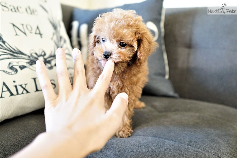 Blake Poodle Miniature Puppy For Sale Near Orange County