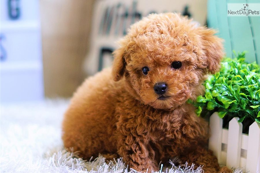 Cookie The Toy Poodl Poodle Miniature Puppy For Sale Near