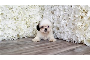 Picture of Malshi puppy