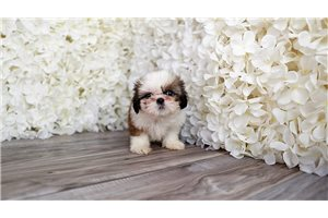Picture of Malshi Puppy pup