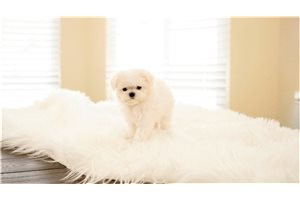 Picture of Baby the Maltese