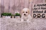 Picture of Daisy the Maltipoo ($1,350)