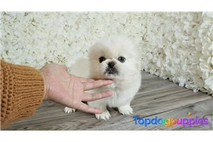 Puppy Peingese | Puppy at 17 weeks of age for sale