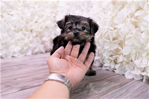 Picture of Morkie puppy