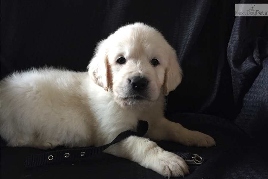 golden retriever puppies denver colorado black collar male english golden retriever puppy for sale 4140