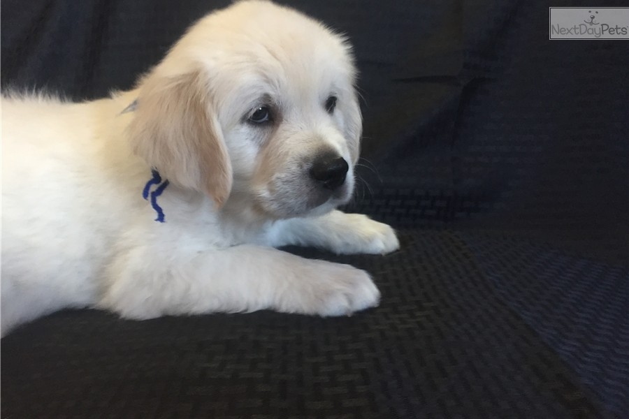 golden retriever puppies denver colorado english golden retriever puppy for sale near denver 3629