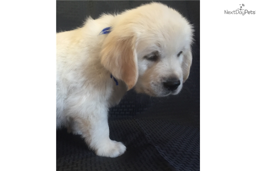 golden retriever puppies denver colorado english golden retriever puppy for sale near denver 4674