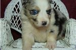 Picture of Merle 2 Blue Eyes M