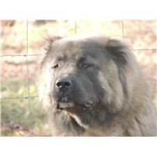 View full profile for Loyal Caucasian Kennels