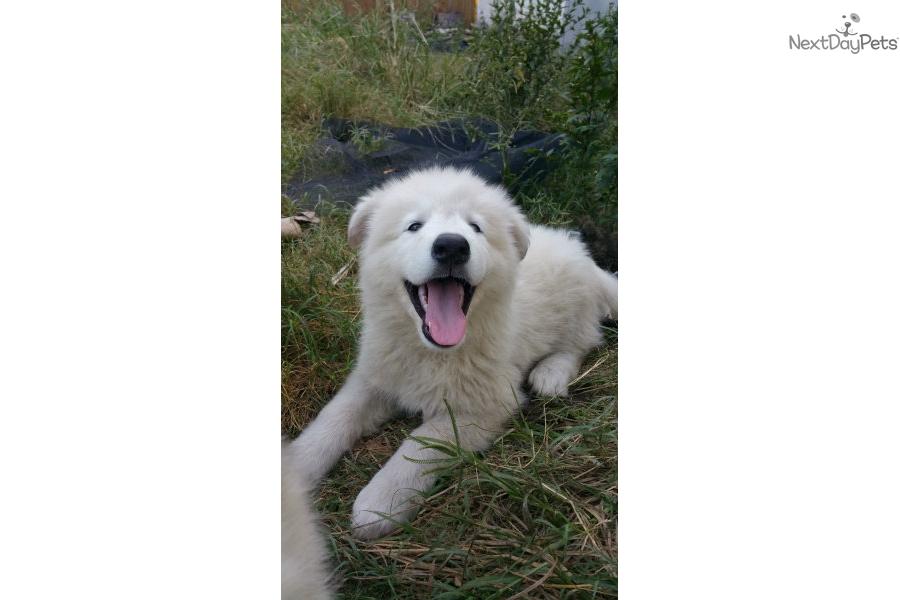 Orange Collar: Wolf Hybrid puppy for sale near Orlando, Florida