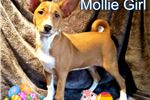 Picture of Fanconi free PRA tested (FEMALES) MOLLIE LITTER
