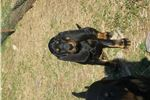 Picture of NOW HERE Sept GRCH LITTER