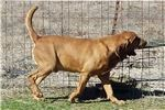 Picture of DUAL AKC CHAMPION 100% European Imports