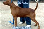 Picture of UKC BENCH CHAMPIONs Kennel reduction SALE