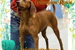 Redbone Coonhounds for sale