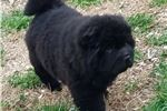 Picture of AKC BEAR COAT