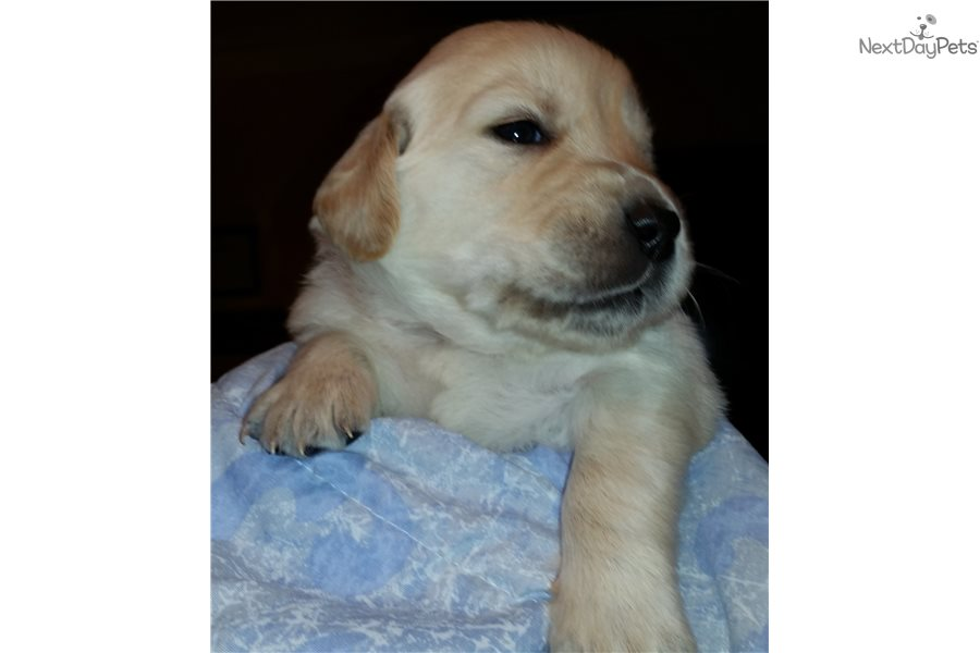 Oliver Golden Retriever Puppy For Sale Near Tallahassee Florida