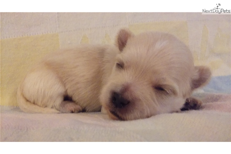 Gorgeous Morkie-Poos: Yorkiepoo - Yorkie Poo puppy for sale