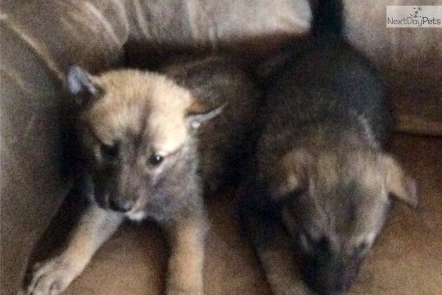 Tiny: Wolf Hybrid puppy for sale near Western Slope