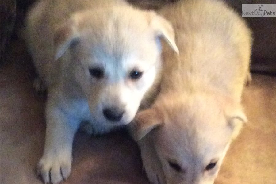 Piper : Wolf Hybrid puppy for sale near Western Slope