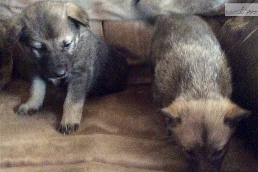 Sweetie : Wolf Hybrid puppy for sale near Western Slope