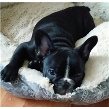 View full profile for West Wind French Bulldogs