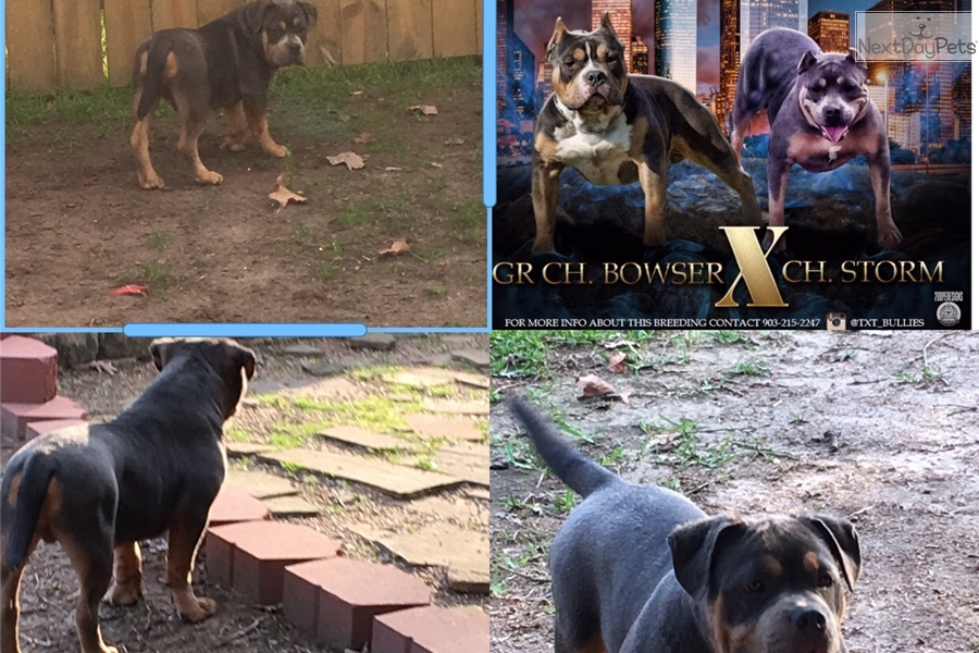 Roadhouse : American Bully puppy for sale near Tyler / East