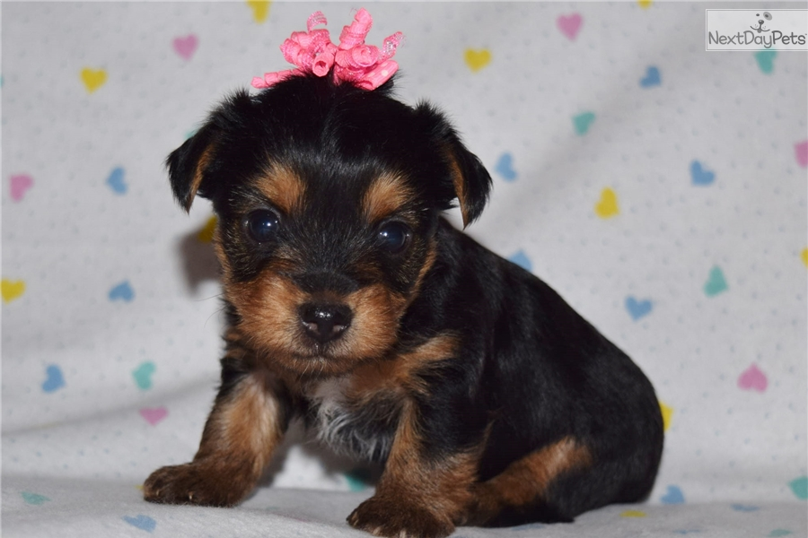 Yorkshire Terrier Yorkie Puppy For Sale Near Phoenix Arizona