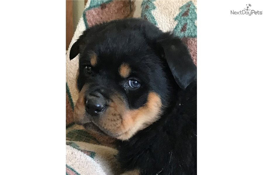 Nike Rottweiler Puppy For Sale Near Springfield Missouri