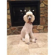View full profile for Legacy Standard Poodles