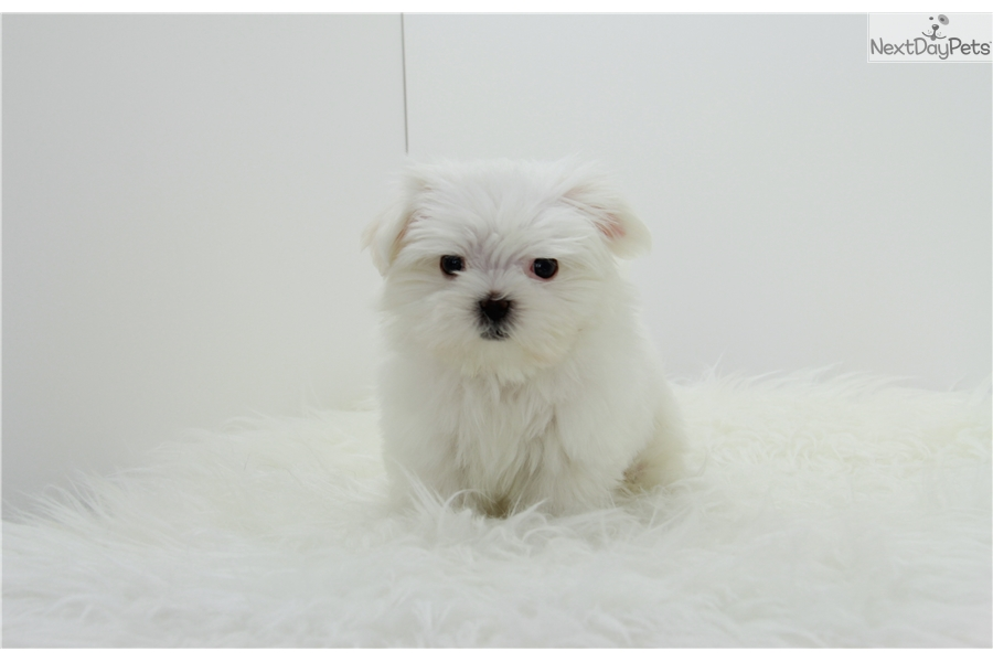 maltese puppies near me blue maltese puppy for sale near los angeles california 6387