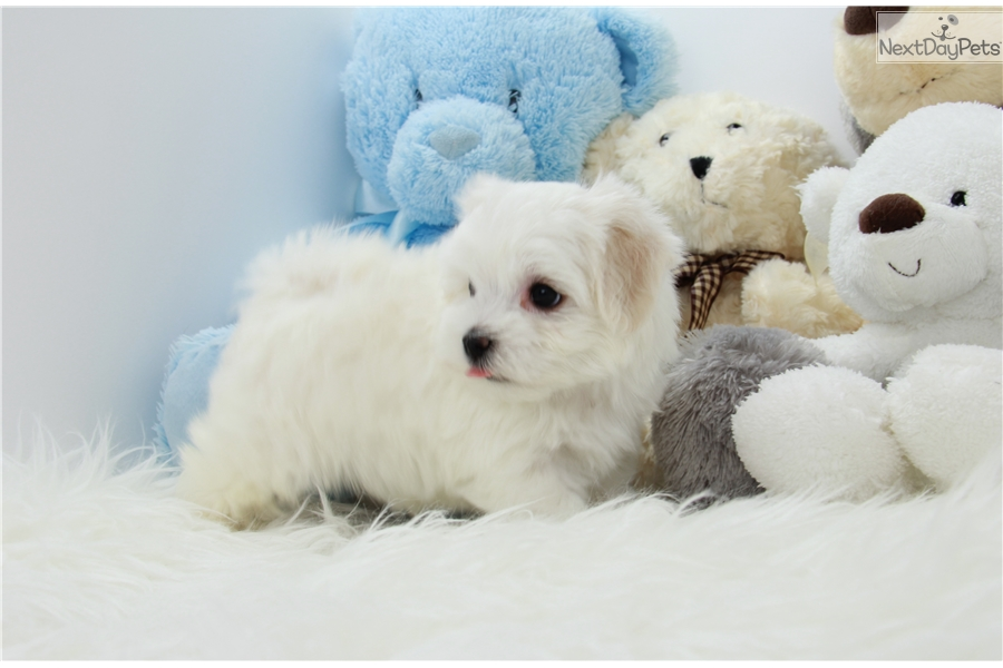 maltese puppies near me maltese puppy for sale near los angeles california 9444