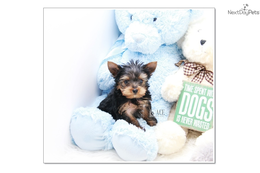 Apollo Yorkshire Terrier Yorkie Puppy For Sale Near Los Angeles