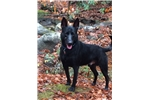 Dutch Shepherd for sale