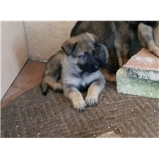 View full profile for Akc German Shepherds