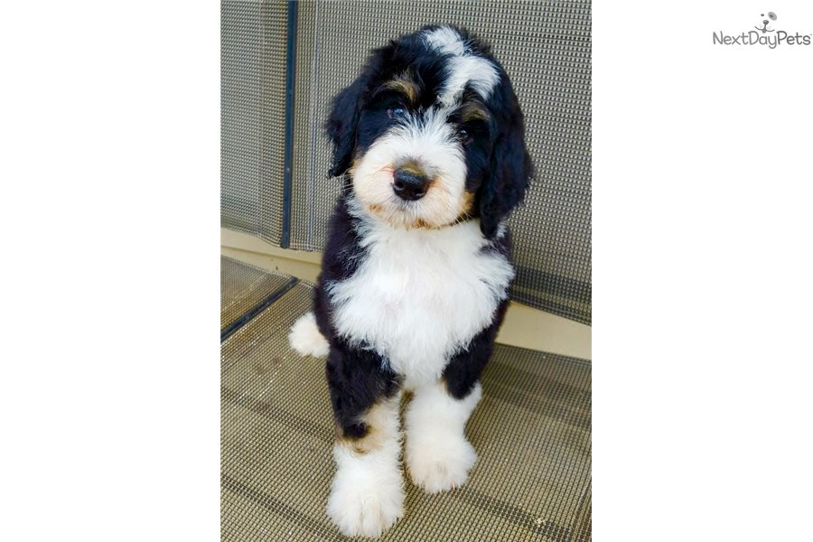 Sissy Bernese Mountain Dog Puppy For Sale Near Chicago