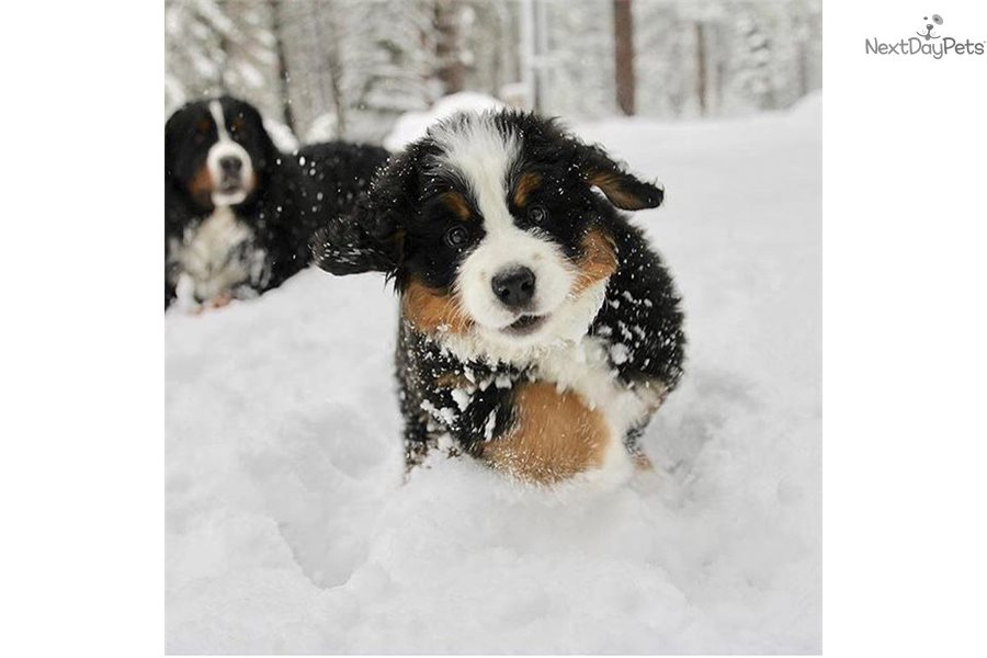 Bernese Mountain Dog For Sale Chicago Pudge Balls Bernese