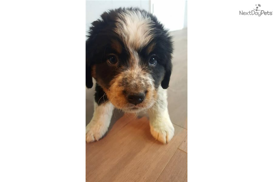 Bernese Mountain Dog Puppy For Sale Near Chicago Illinois