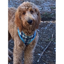 View full profile for Elite Goldendoodle Puppies Of Nashville Tn