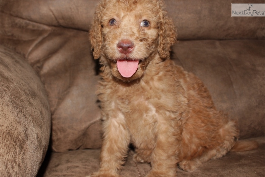 Amber Goldendoodle Puppy For Sale Near Nashville Tennessee