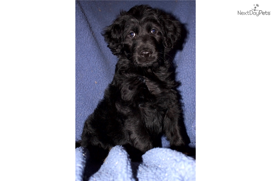 Hank Goldendoodle Puppy For Sale Near Nashville Tennessee