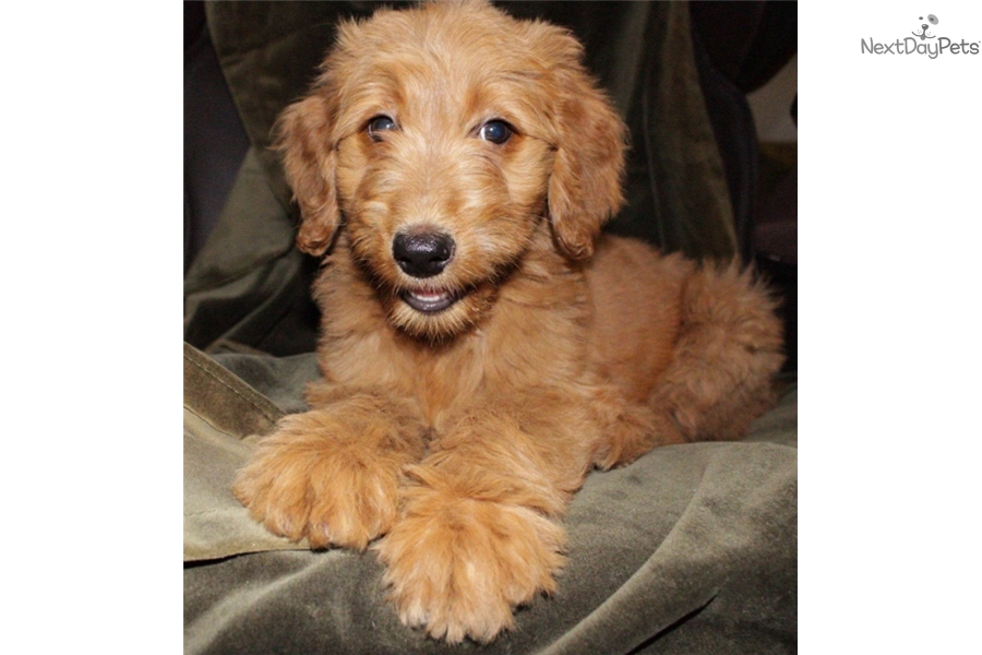 Dolly Goldendoodle Puppy For Sale Near Nashville Tennessee