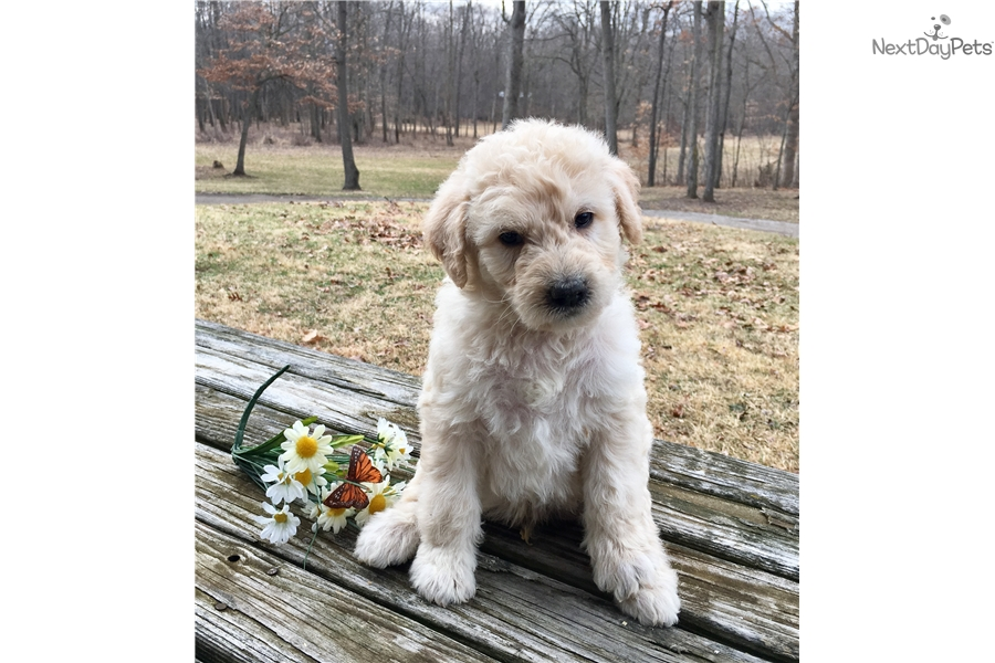 Shepadoodle puppy for sale near Ann Arbor, Michigan | 488d05be-8fb1