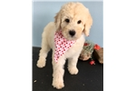 Picture of Beautiful blonde Shepadoodle puppy.