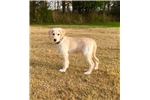Picture of White/Blonde Male Shepadoodle